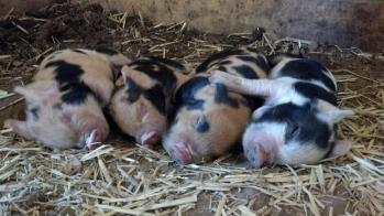 Piglets sleeping, 1 week old