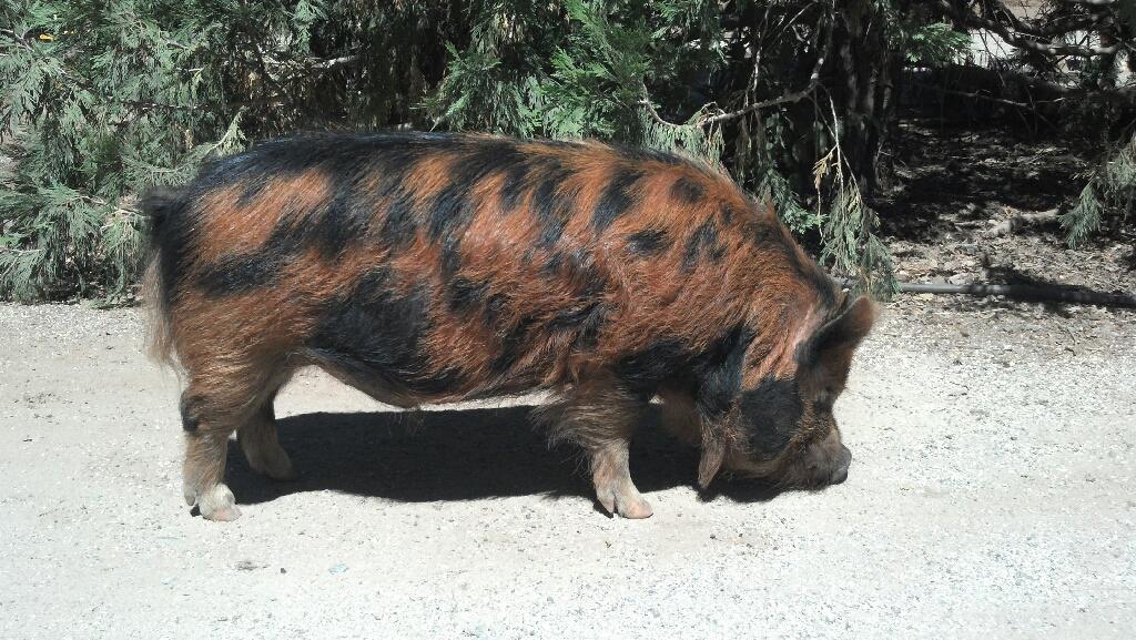 Meet Our Pigs Hakune Matata Pig Farm
