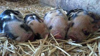 Kunekune piglets in Penn Valley, California