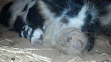 Piglet Daisy with mama Maybelline