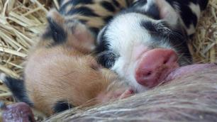 Poppy and Daisy, Kunekune piglets