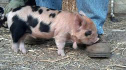Buckwheat, Kunekune piglet