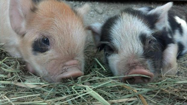 Buckwheat and Daisy, Kunekune piglets