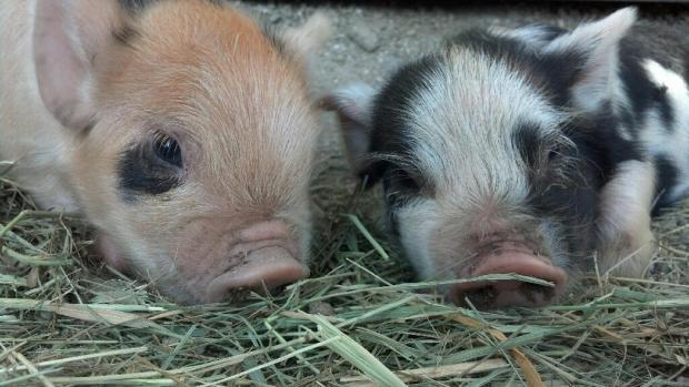 Buckwheat and Daisy, Kunekune piglets