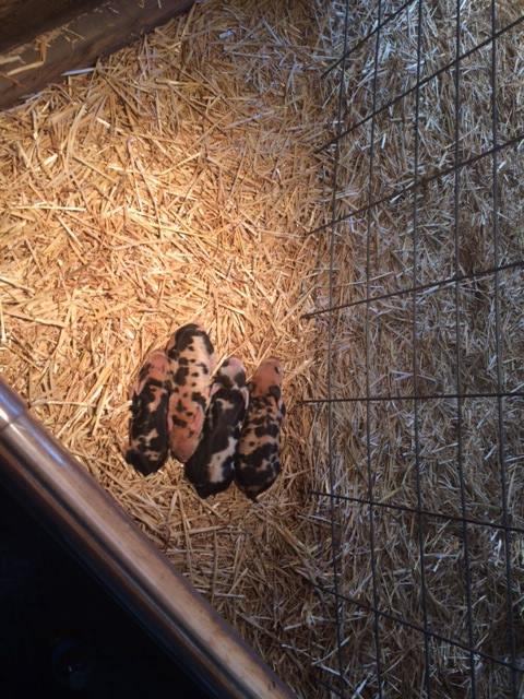 Kunekune piglets sleeping under heat lamp