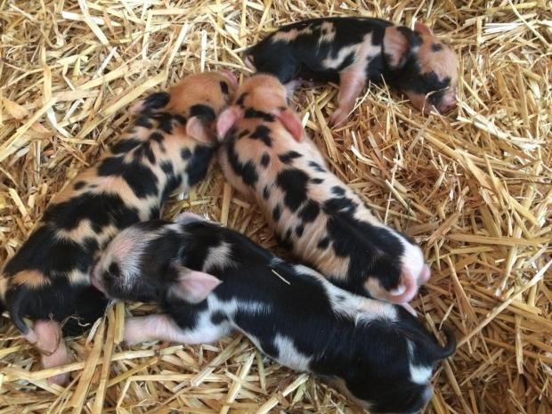 Kunekune piglets napping in straw