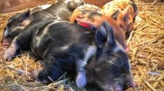 all-piglets-nap