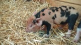 Kunekune piglet named Skittles