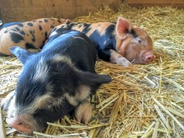Kunekune piglets named Starburst and Skittles