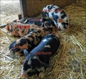 Kunekune piglets with names